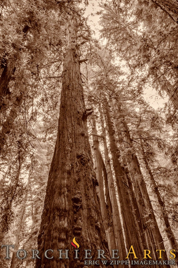 Redwood Tree Art Landscape Photography Coastal California Redwood Tree Painting