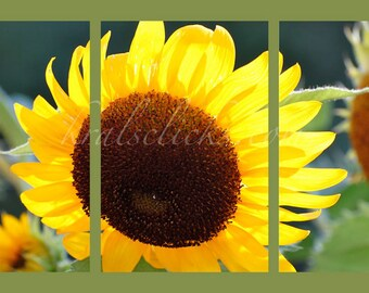 3 Piece Set Sunflower Photographs Fine Art Photography Flower yellow green brown Home Office Wall Tabletop or large wall decor Gift Idea art
