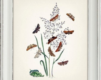 Moth Series no.2  - 8x10 - Fine art print of a vintage natural history antique illustration