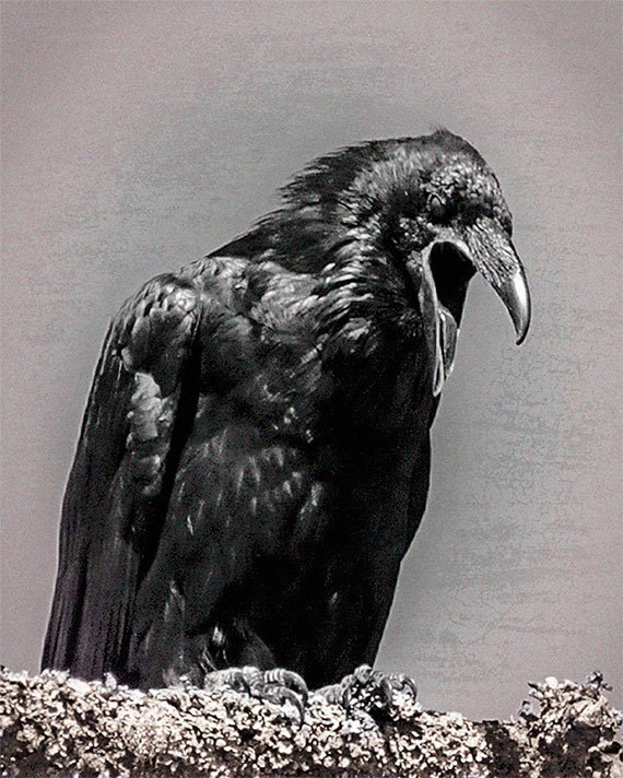 Items Similar To Raven Black And White Image Fine Art