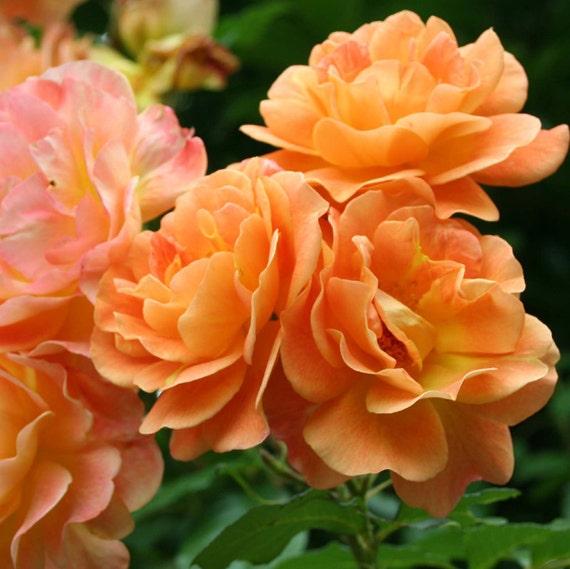 westerland rose bush grown organically fragrant climbing. Black Bedroom Furniture Sets. Home Design Ideas