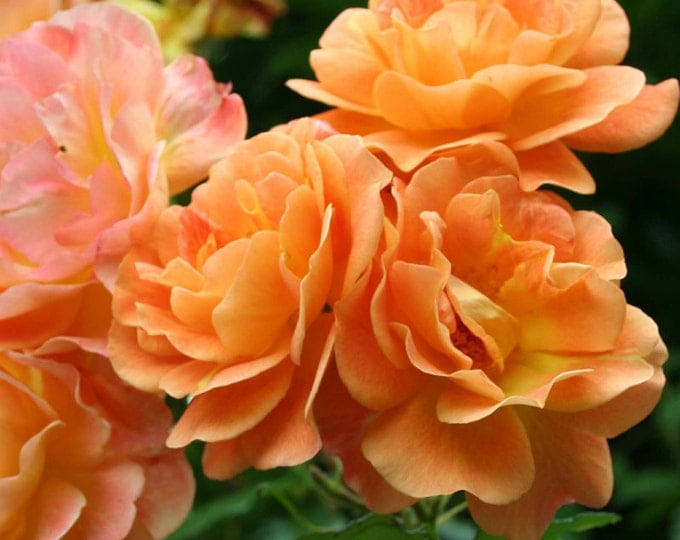 Westerland Rose Bush Grown Organically Fragrant Climbing Apricot Rose Potted | Climbing Rose - Own Root Non-GMO