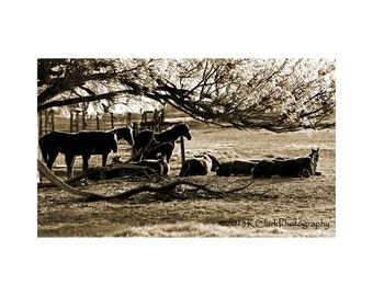 Early Still Western Fine Art Photography Print Texas Landscape Ranch Horses Early morning Spring Day Sepia tone Rustic Home Decor