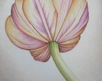 Pencil Art Work Muted Colors Tulip Original Drawing-Print
