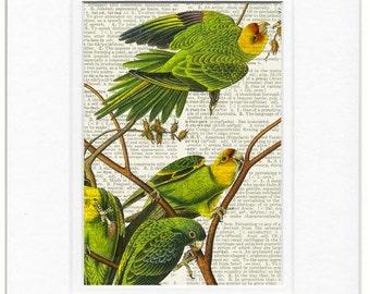 Carolina Parakeet, Audubon print