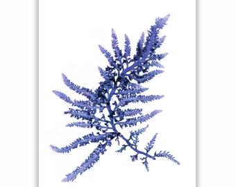 Original Seaweed Print in Navy Blue, Botanical Artwork of Algae, Coastal Wall Decor, Coastal Living, Seaside Cottage, Beach House