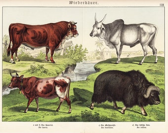 1886 Gorgeous COW and BULL print. Fine chromolithograph, RUMINANTS, original antique  126 years old largue print