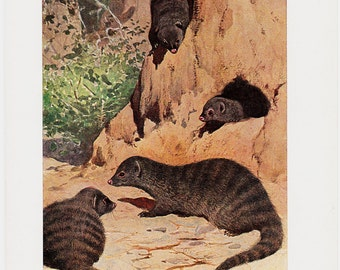 1910 Antique BANDED MONGOOSE  print, (Mungos mungo)  lives in savannas, open forests and grasslands, original antique 100 years old print