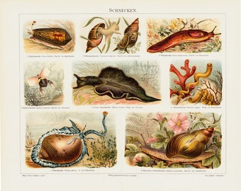 1892 Antique SNAIL print,  chromolithograph of land snails, sea snail, slug,  terrestrial pulmonate gastropod molluscs.
