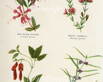 Vintage BOTANICAL Chart Print CRIMSON Bottlebrush red apple pink pea flower mirbelia 1956 varieties flower illustrations to frame