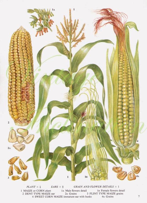 Nifty image with regard to corn printable