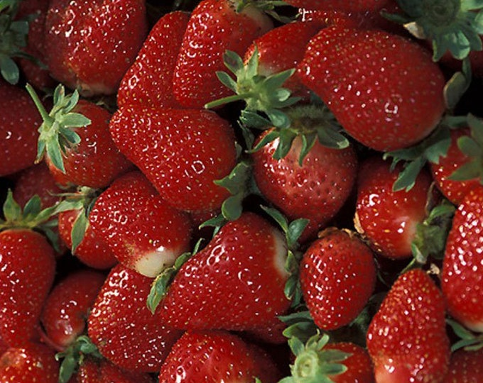 Tristar Strawberry Plants Organic 20 Bare Root Plants Everbearing Strawberry Variety - Shipping Now