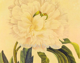 Russian Double White Peony Paeonia tenuifolia Redoute Flower Vintage Illustration Wildflower Lithograph Botanical Print To Frame 52