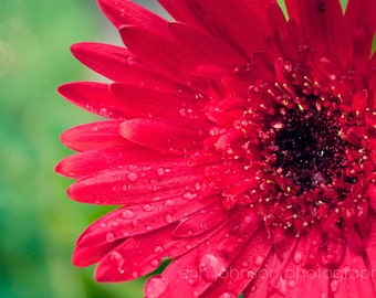 flower photography, red gerber daisy, nature photo, flower art,  red decor,  wall art,  raindrops,  macro