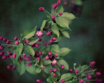 "Pink Cherry Blossoms, Flower Photography, Floral Art Print, Fine Art Photography, Green and Pink Floral Wall Art,   ""Dark Secrets"""