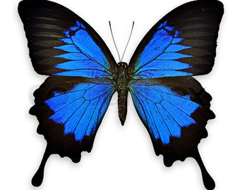 Real Blue Swallowtail Butterfly, Papilio ulysses, Spread Ready to Mount or Laminated or Unmounted