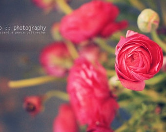 ranunculus (4) - limited edition photograph
