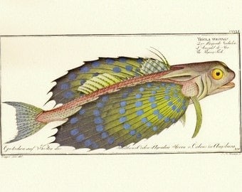 Natural History Print Bloch's Antique Trigla Volitans Flying Fish Illustration to Frame or for Paper Arts and Mixed Media Projects PSS 1808