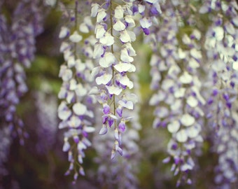 """Botanical photography print wisteria pale purple olive green dining room wall art """"Wisteria"""""""