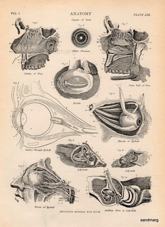 1897 Victorian Chart of Human Anatomy  The Senses Eyes Ears  and Nose