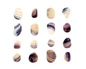 Weathered Quahog Shells - 8 x 8 photograph - purple striped clam shells