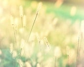 Summer grass photography, nature photo, home decor, teal and yellow golden sunlight meadow flower art 8x8 photograph