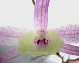 Orchid Flower Essence for Communication & Telepathy with Animals, Plants, Crystals, Planets, Any Non-Human Consciousness