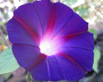 Glory in the Morning Natural Flower Essence Remedy of All My Morning Glory Flower Essences for Harmonizing Rhythms & Cycles