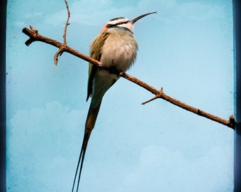 White throated bee eater, exotic bird photograph, square format, bird art, signed print in various size options.