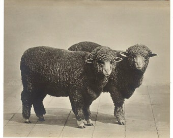 Two Sheep, Vintage photo,Art print