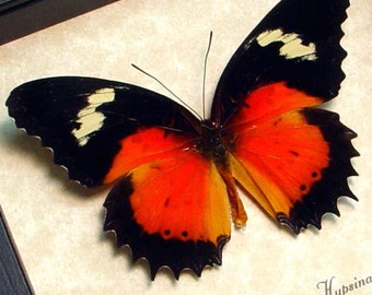 Real Framed Cethosia hypsea hypsina Red Malay Lacewing Butterfly Shadowbox Display 8141