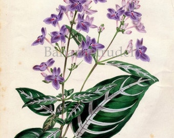 1847 Rare Vintage Botanical Print by Joseph Paxton - Eranthemum Variabile - Handcolored