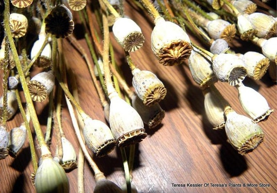 Poppy Pods dried 25 poppy heads on Shorter 3-6