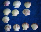 14 Atlantic Calico Florida Seashells Sea Shells White Jewelry Crafts Earrings