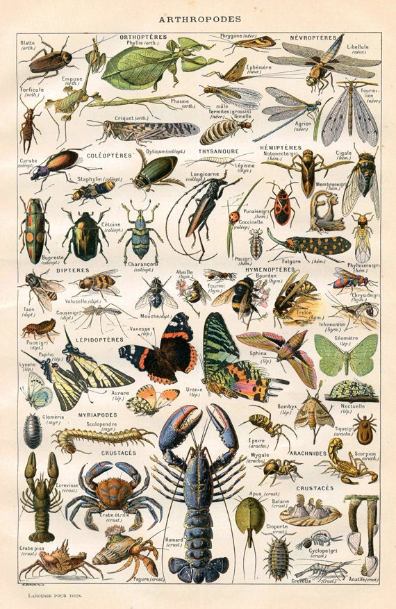 """Vintage Natural History Print """"Arthropodes"""" Insect Collection Antique Print - Bugs Butterflies Moths"""