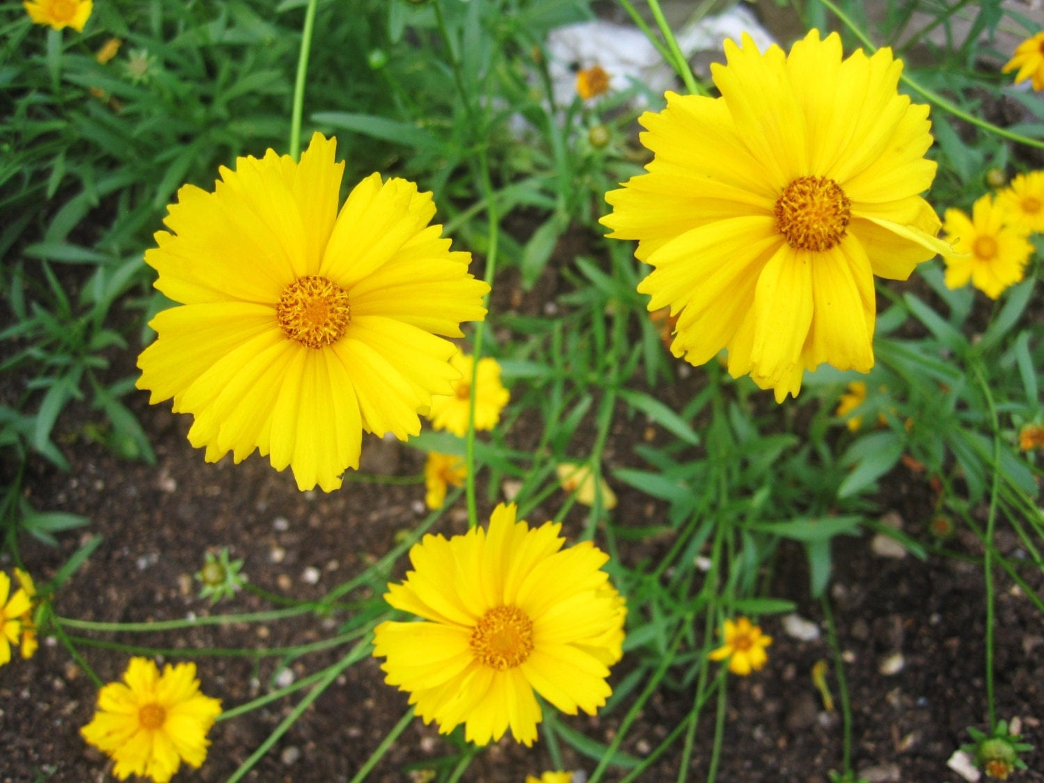 Yellow Perennial Flowers Pictures to Pin on Pinterest ...