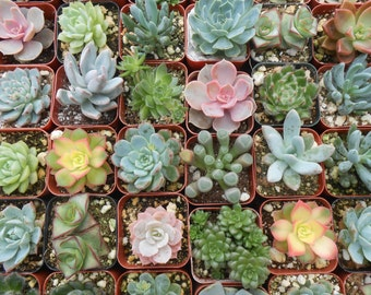 6 Unique Succulent Plants, Terrarium Projects, Succulent Favors, Weddings, Centerpieces, Container Gardens, Home Decor