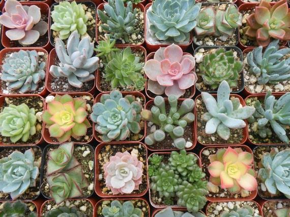 6 Unique Succulent Plants, Terrarium Projects, Succulent Favors, Weddings, Centerpieces, Container Gardens, Home Decor