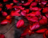 Deep Red Leaves Crimson Autumn Colorado Fall Valentine Rustic Cabin Lodge Photograph