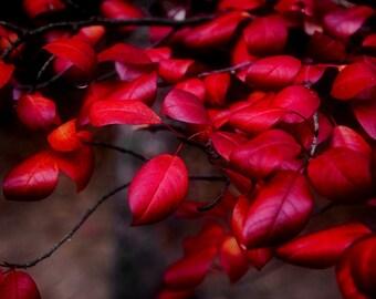 Deep Red Leaves Crimson Autumn Colorado Fall Valentine Rustic Cabin Lodge Photograph
