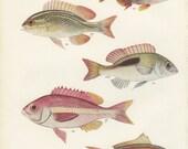 Vintage Fish Print: Bream, Scolopsis, 1950, Marine, Margaret Smith 41, Ichthyology, Natural History