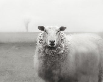Sheep Photography Animal Photography  French Country Photography