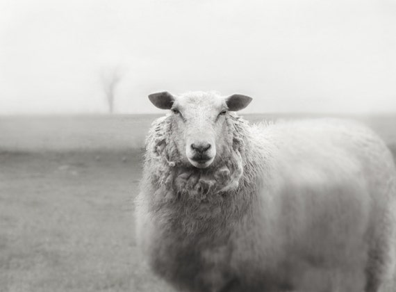 Sheep Photography Animal Photography  French Country Photography 8x10