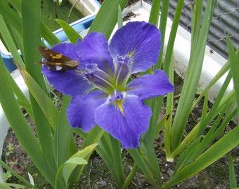 3 Blue louisiane water iris plants