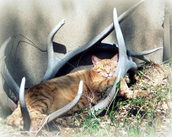 Lion King Cat, Home Decor, Cat Photograph, Pet Photography Fine Art Photo