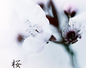 Sakura : cherry blossom flower spring photography japanese surreal home decor white pink gray 8x8 10x10 14x14 16x16 20x20 24x24 30x30