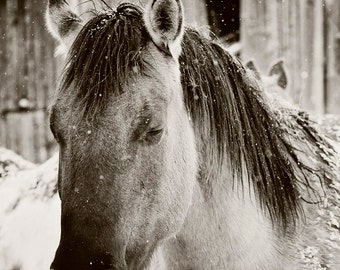 Snowy Horse Sleep, Black and White Horse Photograph, Western Horses Wall Art