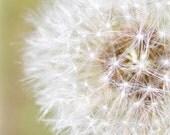 dandelion photograph, flower art, photography print, fluffy white petals, pastel olive green, macro photography