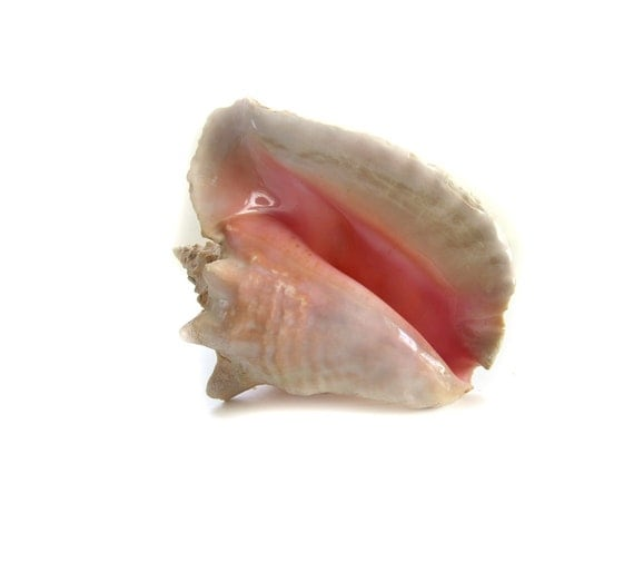 Large 10 Inch Natural Spiny Conch Shell No. 3