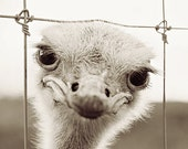 Ostrich Photography - Animal Photograph - Bird Nature Wildlife - Black and White - Home Decor - Fine Art Photography - Laura Ruth